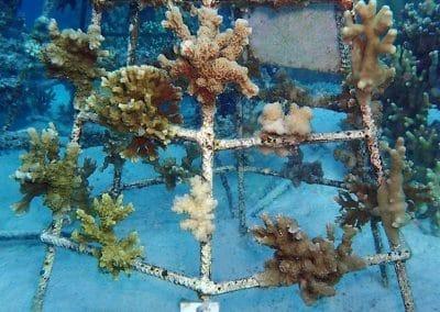 Korallenrahmen Baros