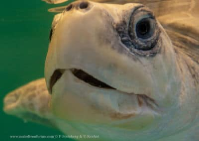 Olive Ridley Project Meeresschildkröte